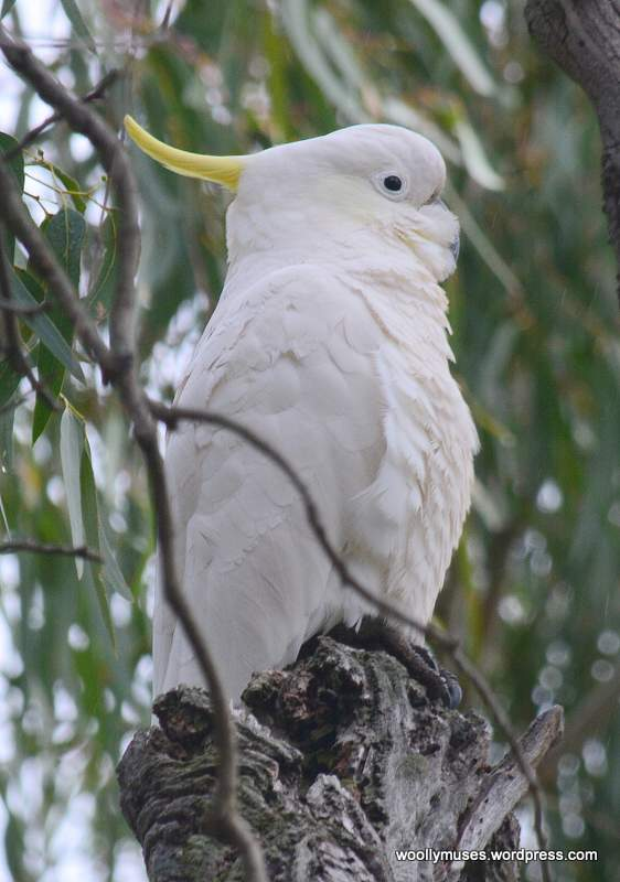 cockatoo_0518