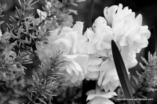 daffodil_0747