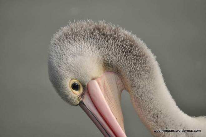 pelican_0117
