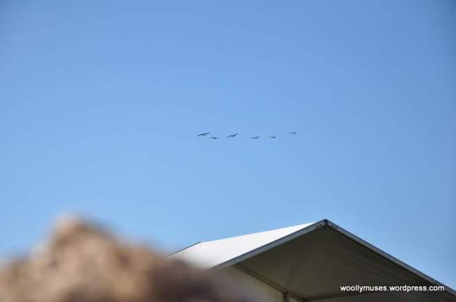 pelicans_0271