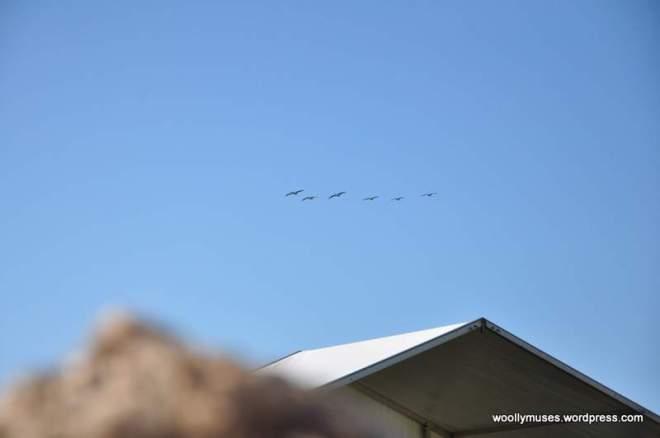 pelicans_0272