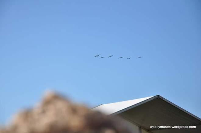 pelicans_0273