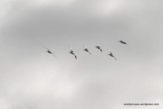 pelicans_0286