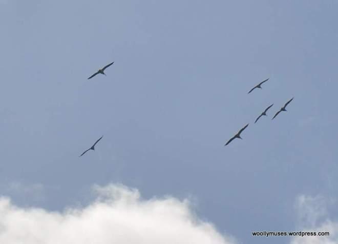 pelicans_0295