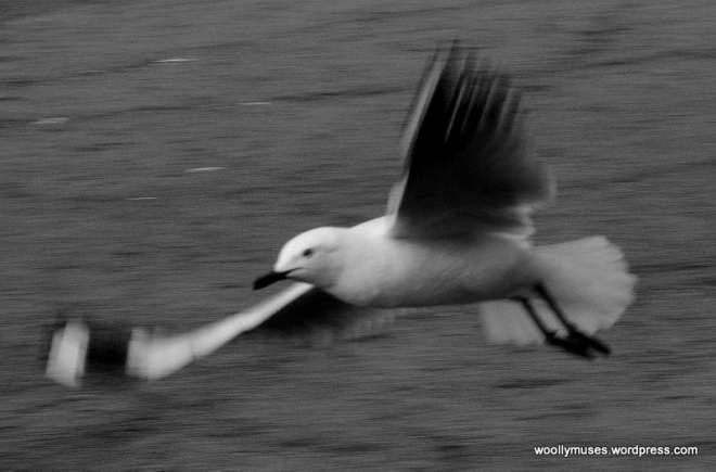 seagull_0547