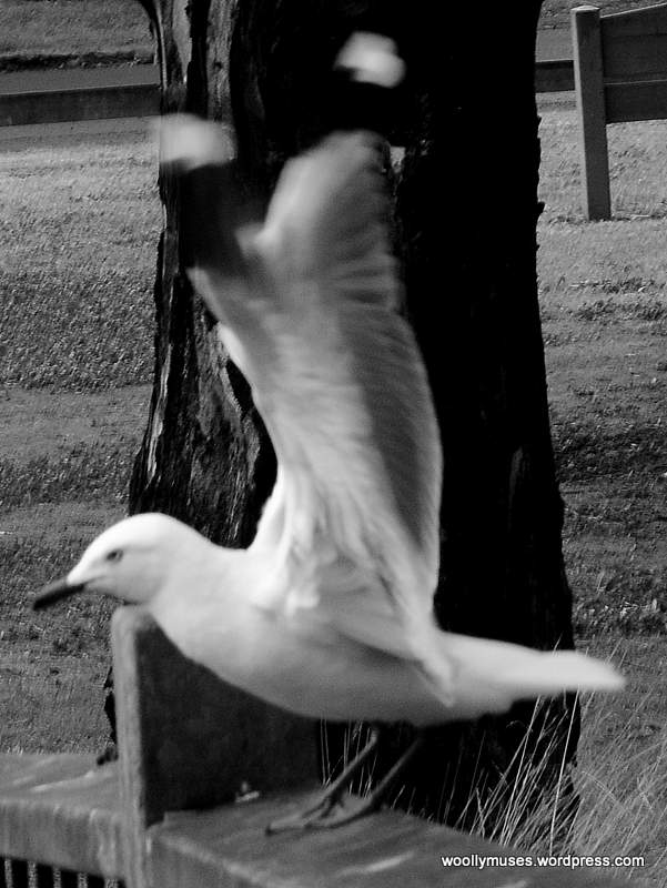 seagull_0554