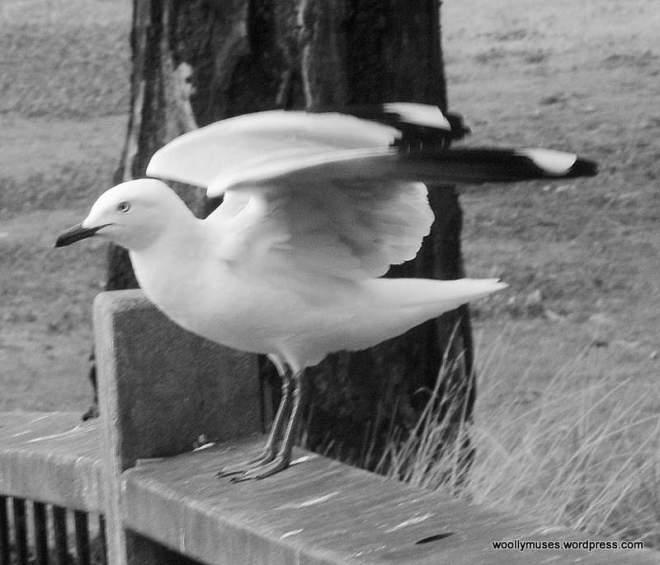 seagull_0555