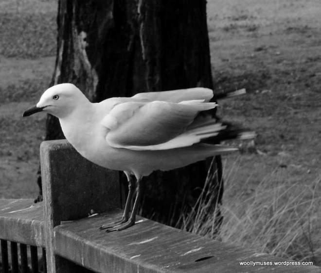 seagull_0556