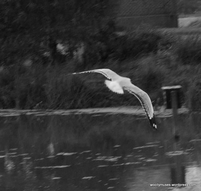 seagull_0578