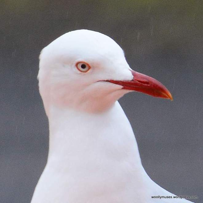 seagull_0625