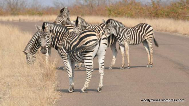 zebra_0568