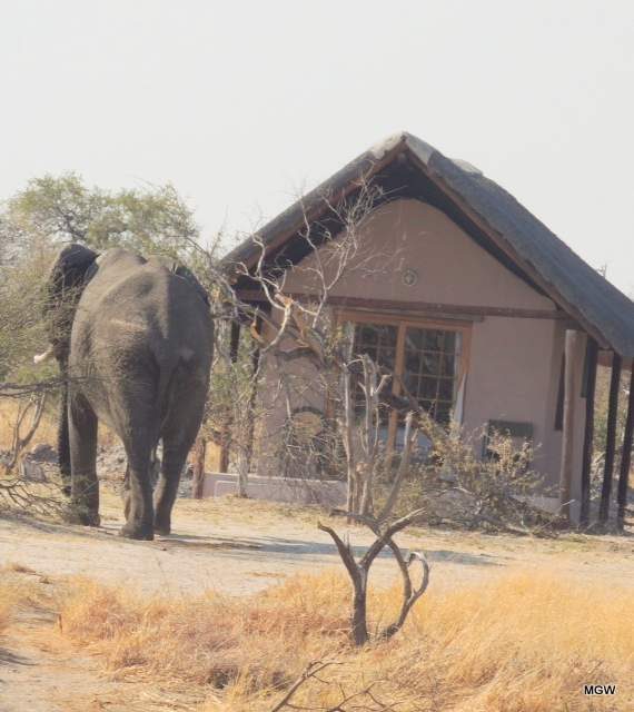 elephant-h1