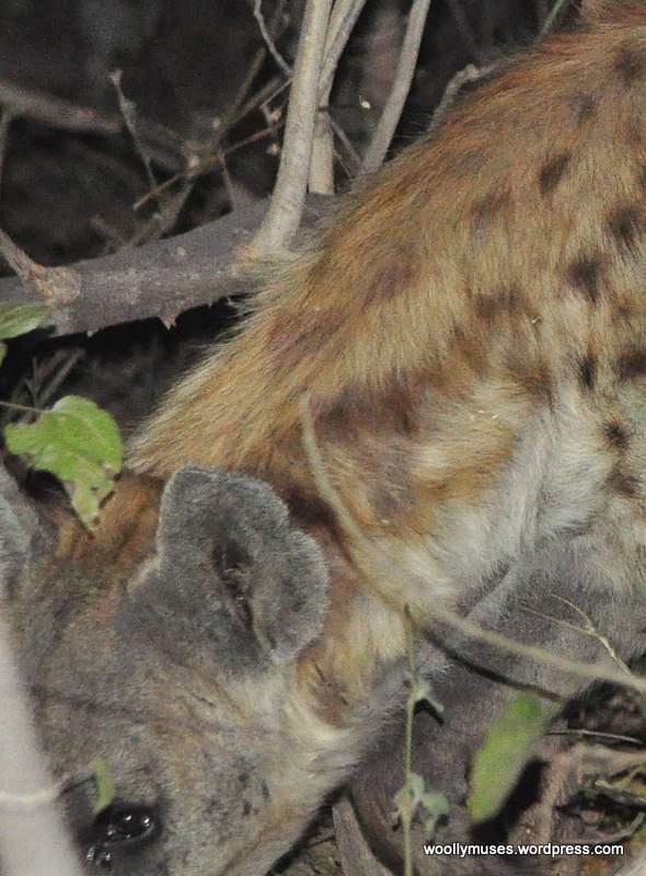 hyena_0269-1