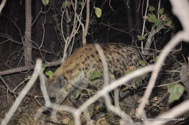 hyena_0269