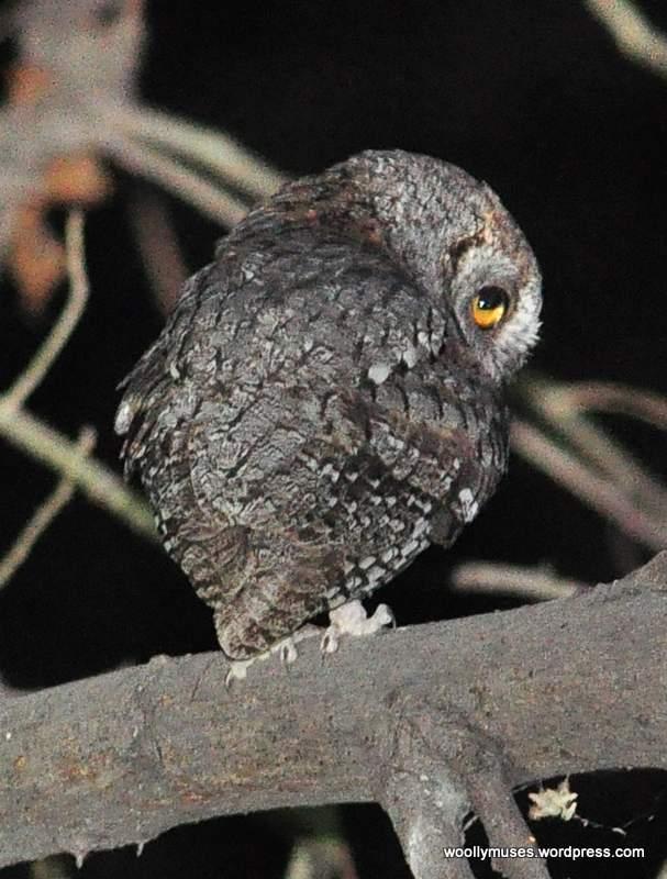 owl_0286