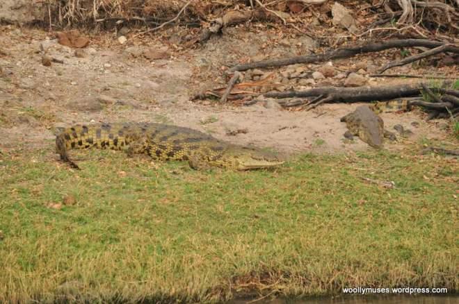 crocodile_0314