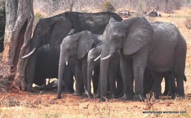 elephant_0839a