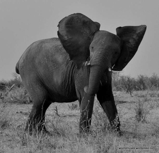 elephant_0960a
