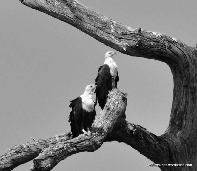 fish-eagle_0577