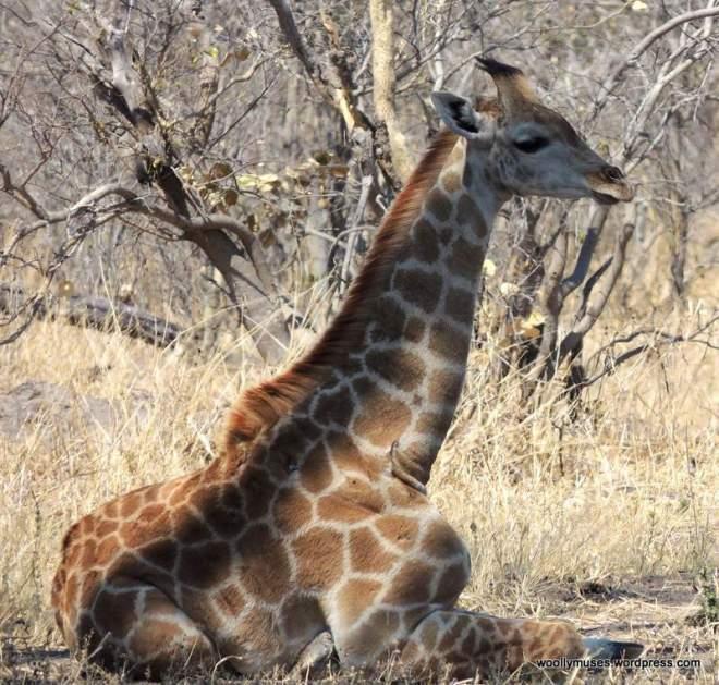 giraffeH_2216a
