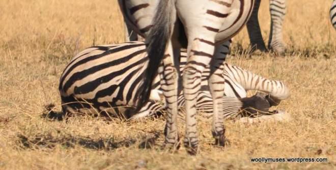 zebra_0110