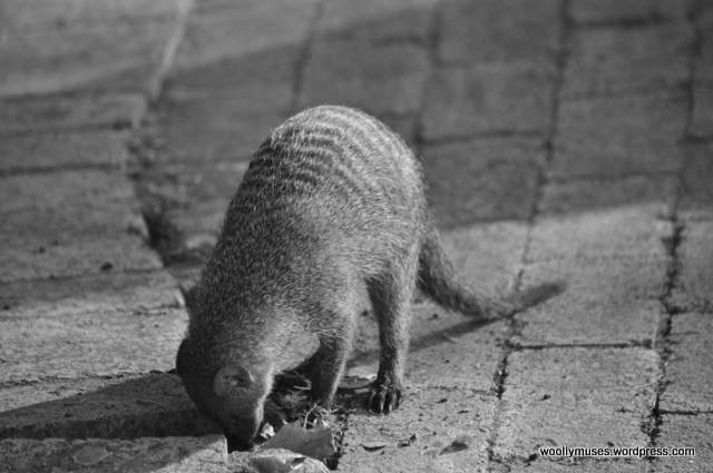 banded-mongoose_0005