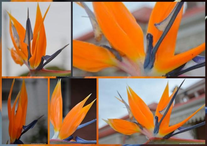 bird-of-paradise