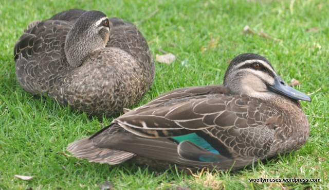 ducks_0591