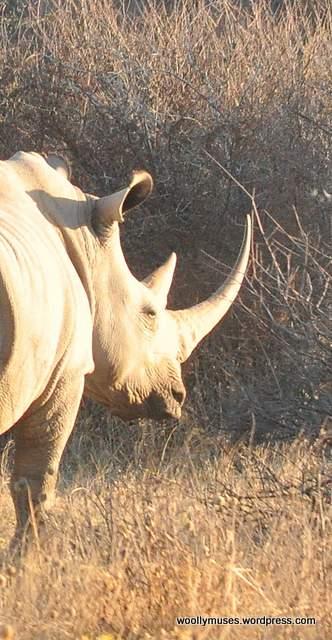 rhinoceros_0925b