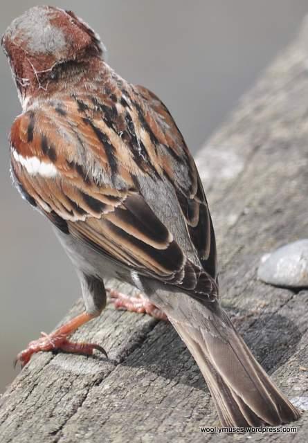 sparrow_0602