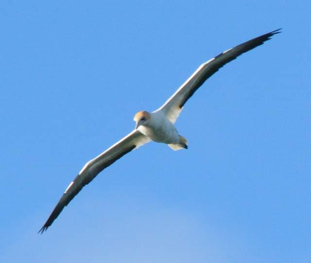 australian gannet_0230