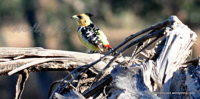 crested-barbet_0074a