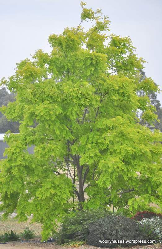 golden-robinia_0534