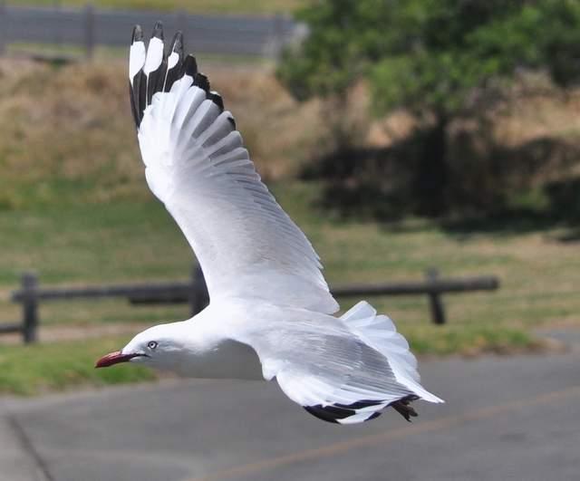 seagull_0762