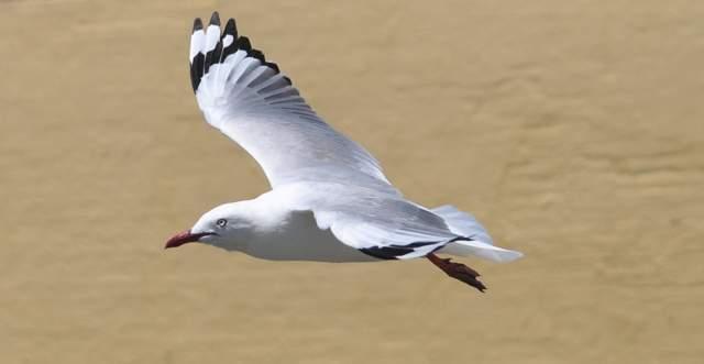 seagull_0763