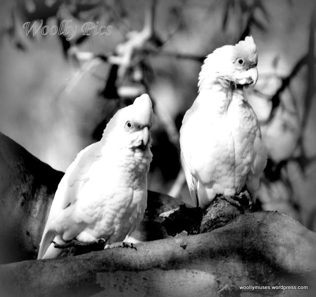 cockatoo_3138