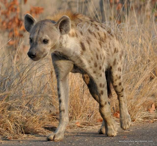 hyena_0054