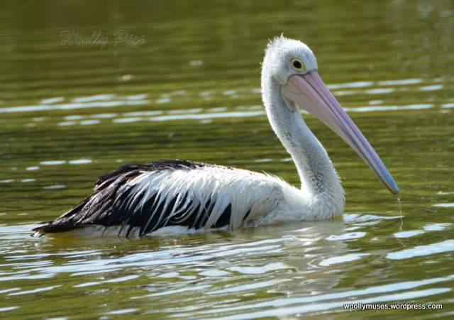 pelican_2923
