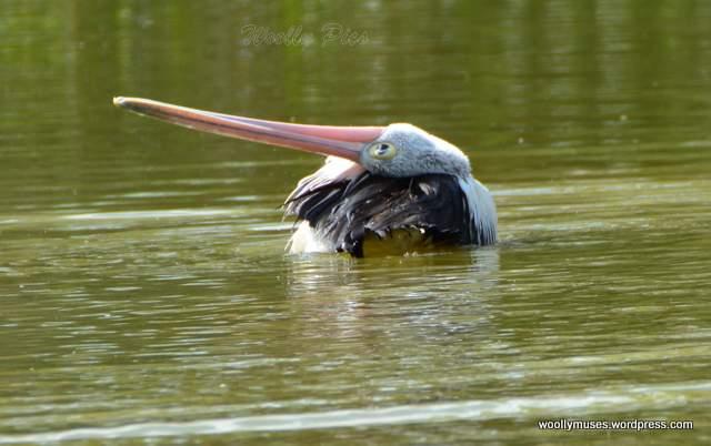pelican_2929
