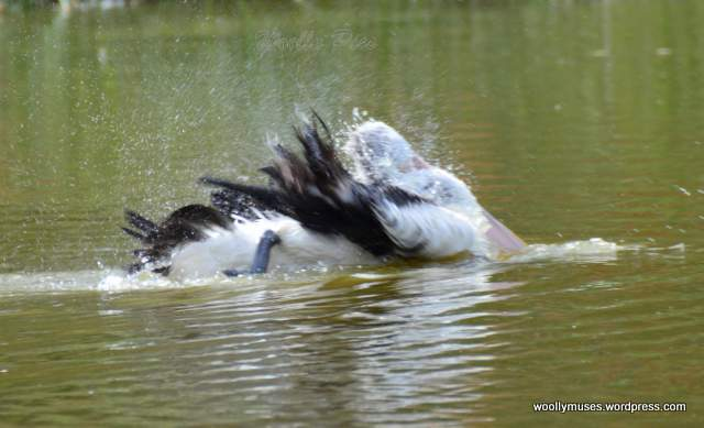 pelican_2936