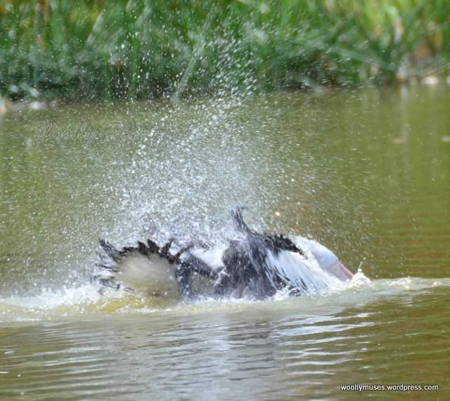 pelican_2938