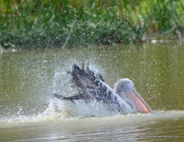 pelican_2940