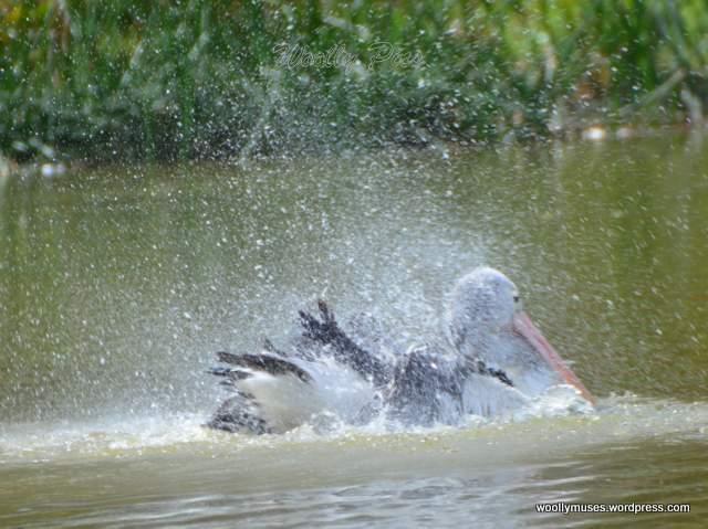 pelican_2941