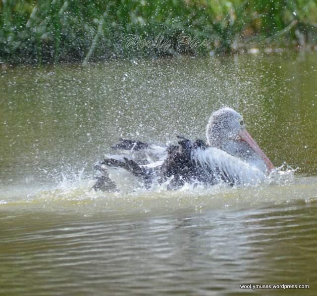 pelican_2943