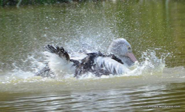pelican_2945