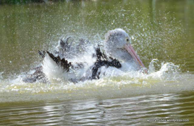pelican_2947