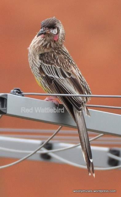wattlebird_0007
