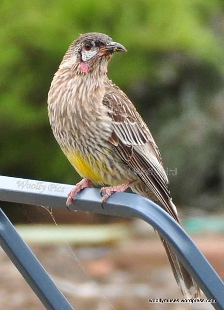wattlebird_0028