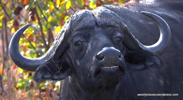 cape-buffalo_0215