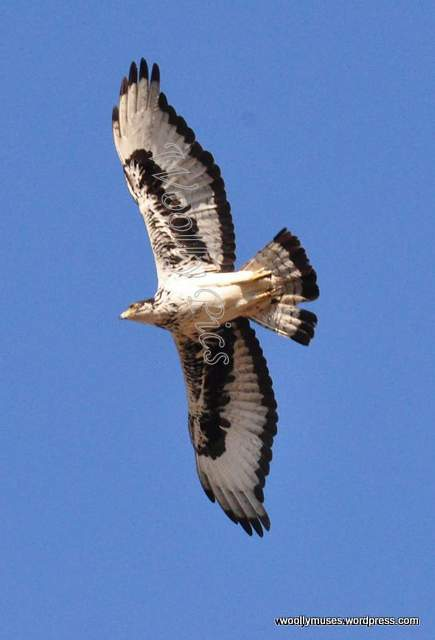 eagle_0169